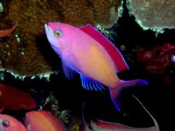 If not mistaken this is a Peach or Red fin anthias (&amp;#979... by Tony Otion 